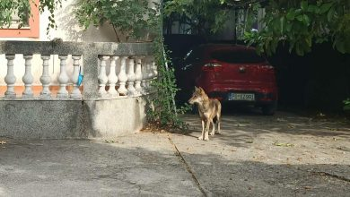 Photo of PODGORICA: Uhvaćen vuk koji je uskočio u dvorište porodične kuće