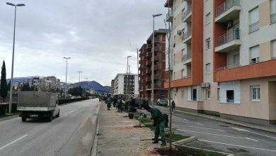 Photo of Bulevar Stanka Radonjića dobija novi drvored od 63 odrasle sadnice